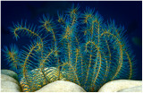 Feather star.