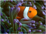 Anemone and clownfish.