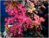Soft corals.