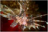 Portrait of a lionfish.