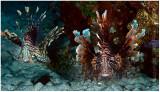 Pair of lionfish.