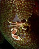Crab on anemone.