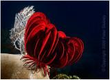 Walking red crinoid.