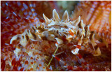 Another zebra crab on a fire urchin.
