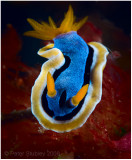 And another nudibranch.