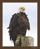 Bald Eagle in the wild_
