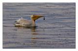 White Pelican_605L