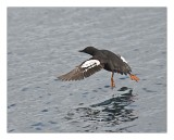 Taking off ..   -Common Murre