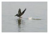 Brown Pelican ... taking off_