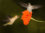Fight over the flower...