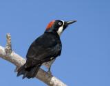 Woodpecker (female)