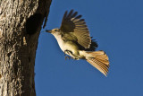 Flycatcher delivering lunch for its young