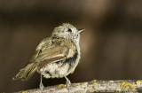 Juvenile House Finch