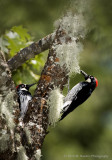 Two Woodpeckers - adult and juvenile
