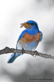 Western Bluebird with moth
