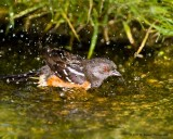 Spotted towhee - bathing