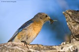 Western Bluebird with food for its young