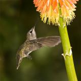Hummingbird - Anna