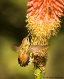 Hummingbird - Allen