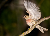 Red Finch ready to fly