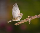 Finch just taking off