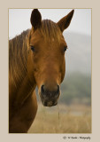Wild Mustang (mare)