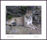 Mountain Lion_266