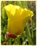 Yellow Poppy_234