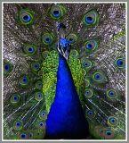 Peacock_152