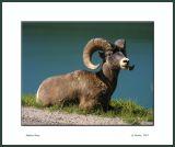 Bighorn Sheep_161