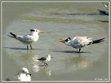 Squabbling Terns_283