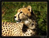 Cheetah_421a