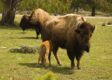 Bison Mom with calf_600h