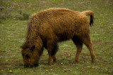 Young bison_600i