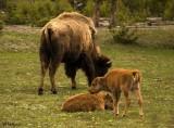 Bison with calves_600K