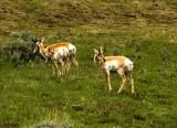Pronghorn Antelopes_600L