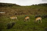 Pronghorn Antelopes_600m