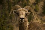 Bighorn sheep_600n
