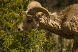 Bighorn sheep_600o