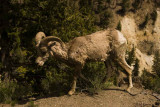 Bighorn sheep_600p