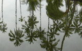 Reflected Palms