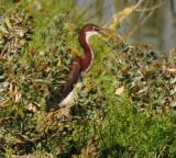 Juvenile Tricolored Heron
