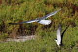 Alternate Plumaged Laughing Gull and Alternate Plumaged Sooty Tern