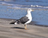 Molting 3rd Cycle Lesser Black-backed Gull