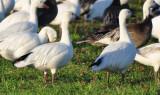 Swans, Geese, & Ducks