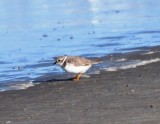 Basic Plumaged Piping Plover