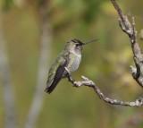 Sub-adult Male Anna's Hummingbird