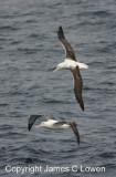 Southern Royal Albatrosses