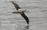 Wandering Albatross imm