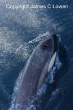 Antarctica, Falklands and South Georgia - marine mammals
